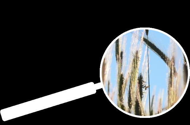 Lupen Symbol mit Weizen
